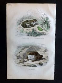 Lacepede & Travies 1881 Hand Col Print. Black Frog, Toad